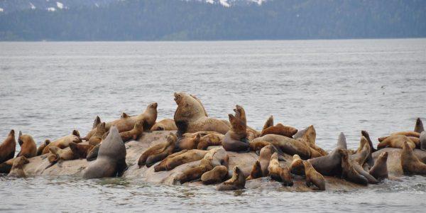 copy_of_seals_galore_glacier_bay